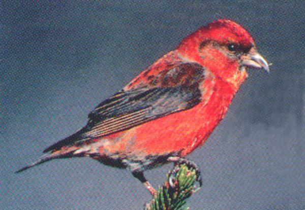 Oiseaux rouges au qu bec for Oiseau bec rouge
