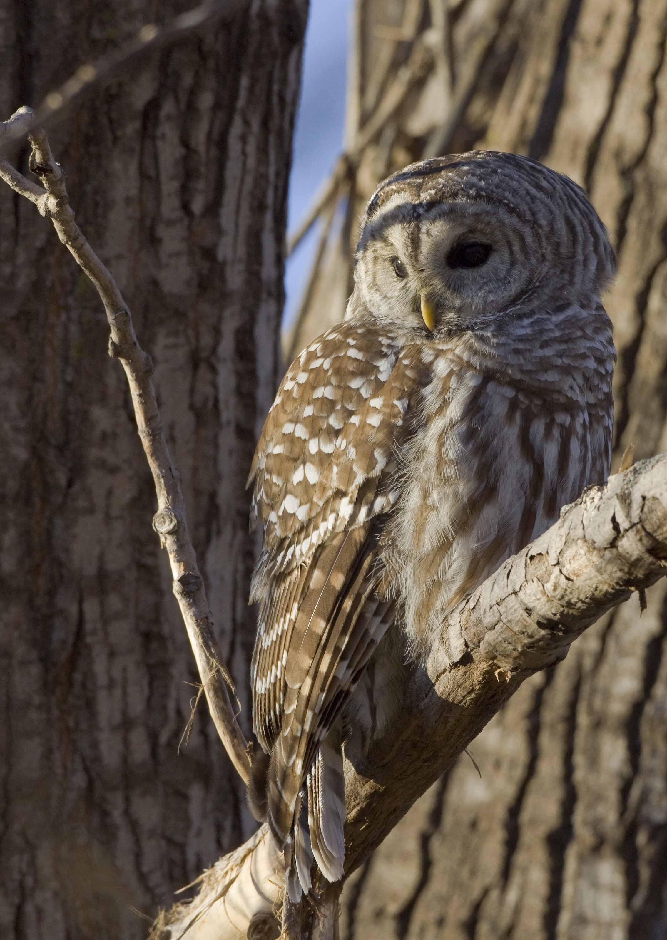 Hibou Ou Chouette routes d'écoute de hiboux nocturnes | club ornithologique des hautes